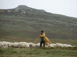 Ilustrasi-seorang-gembala-yang-selalu-menuntun-domba-dombanya-agar-tidak-tersesat